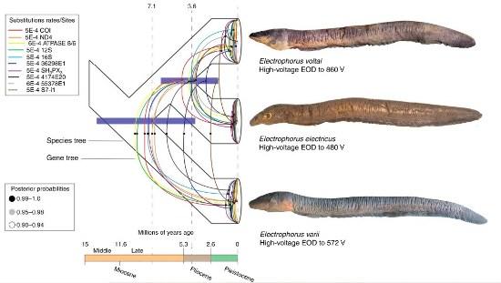 Las anguilas eléctricas no son verdaderas anguilas; las clasificaciones han variado, poniéndolas a veces en su propia familia, Electrophoridae.