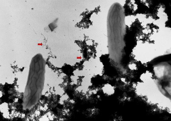 Geobacter posee una red de citocromos C multihemo que se distribuyen por la membrana interna, periplasma y membrana externa que transfieren los electrones a su aceptor final de electrones natural (el hierro III) o bien a los electrodos, si éstos están presentes.