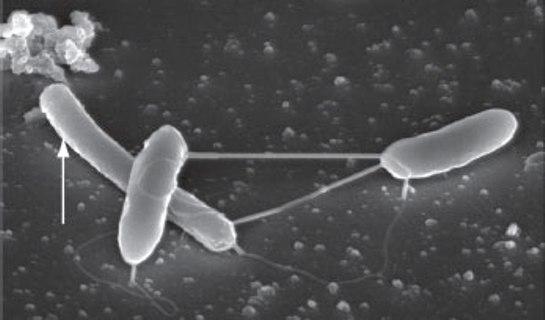 A diferencia de otras bacterias que no poseen los citocromos del tipo C y no generan electricidad, la característica distintiva de la bacteria estudiada es que porta esas proteínas en su membrana externa.