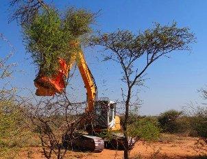 Bioenergía: Namibia podría abastecerse de energía sólo con sus arbustos.